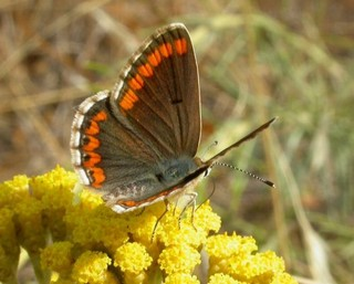 Spanish Brown Argus